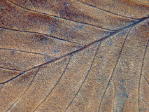 Brown autumn leaf texture. Royalty Free Stock Photography