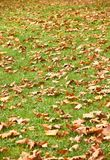 Brown autumn leafs in the city royalty free stock photo