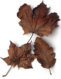 Brown Autumn leaves. Three different brown Autumnal leaves, isolated on white background stock photo