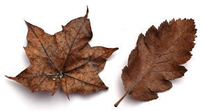 Brown Autumn leaves. Two different brown Autumn leaves isolated on white background royalty free stock photography