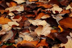 Brown autumn  leaves background Stock Photo
