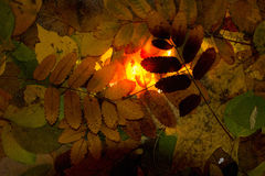 Brown autumn leaves - background Royalty Free Stock Photography