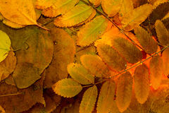 Brown autumn leaves - background Royalty Free Stock Photos