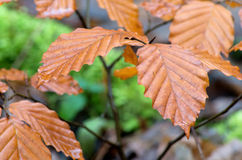 Brown autumn leaves Stock Photography