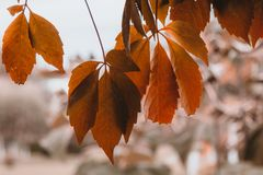 Brown autumn leaves Stock Images