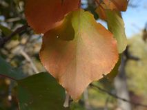 Brown autumn leaves. Detail of a brown leaves in a tree, in autumn Stock Photo