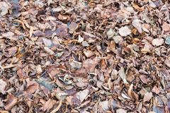 Brown autumn leaves. Brown fallen leaves lie on autumn ground Stock Image