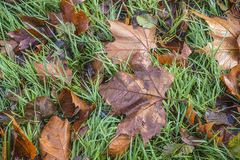 Brown autumn leaves. Brown maple leaves on the wet green grass stock photo