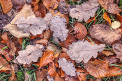 Brown autumn leaves with morning frost Stock Photos