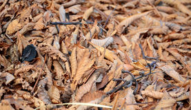 Brown autumn leaves Royalty Free Stock Photos