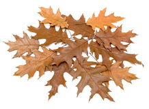 Brown autumn leaves on a white background Stock Image