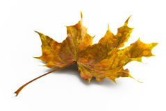 Brown autumn maple leaf Royalty Free Stock Photo