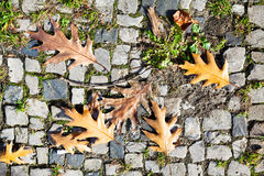 Brown autumn oak leaves on stone pavement Royalty Free Stock Images