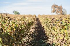 Brown autumnal grapes vines. In the south of France royalty free stock photo