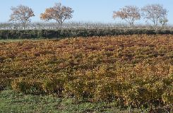Brown autumnal grapes vines. In the south of France royalty free stock photos