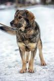 Brown avec le chien métis gris Images libres de droits