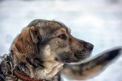 Brown avec le chien métis gris Photos libres de droits
