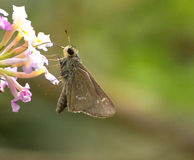 Brown awl. This butterfly is commonly known as  brown awl or narrow-winged awl, and found in India, Southeast Asia, Australia, and Oceania. It  favors openings Stock Images