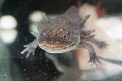 Brown axolotl Stock Photography