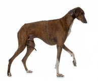 Brown azawakh hound Stock Photo