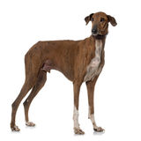 Brown azawakh hound. In front of white background Stock Images
