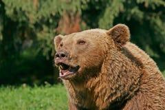 Brown-Bär Lizenzfreies Stockfoto