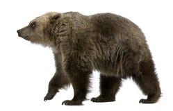Brown-Bär, 8 Jahre alt, gehend lizenzfreies stockfoto