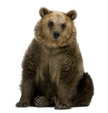 Brown-Bär, 8 Jahre alt, sitzend Lizenzfreie Stockfotos
