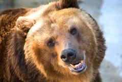 Brown-Bär Stockfoto