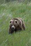 Brown-Bär, der durch Gras geht Stockfotos
