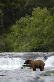 Brown-Bär, der im Bach-Fluss steht Stockfotos