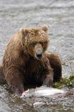 Brown-Bär, der Lachse isst Stockbild