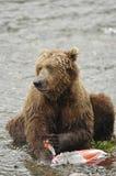 Brown-Bär, der Lachse isst Stockbilder