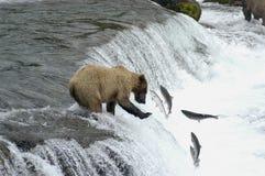 Brown-Bär, der versucht, Lachse abzufangen Lizenzfreie Stockfotos