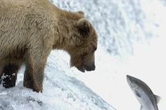 Brown-Bär, der versucht, Lachse abzufangen Lizenzfreie Stockbilder