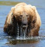 Brown-Bär, der vom Wasser auftaucht Lizenzfreie Stockfotografie