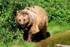 Brown-Bär durch Wasser Stockfoto