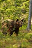 Brown-Bär im Wald Lizenzfreies Stockfoto