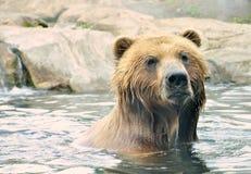 Brown-Bär im Wasser Lizenzfreies Stockbild