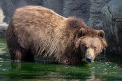 Brown-Bär im Wasser Porträt von Braunbär Ursus arctos beringianus Lizenzfreies Stockbild