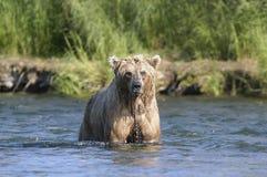 Brown-Bär mit Bratenfettwasser Lizenzfreie Stockbilder