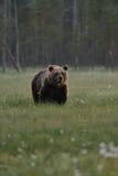 Brown-Bär mit Waldhintergrund Stockbild