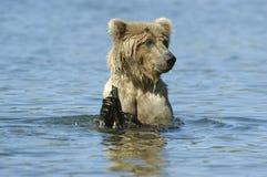 Brown-Bär playng im Bach-Fluss Stockfotos