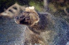 Brown-Bär und Wasserspray Stockbild