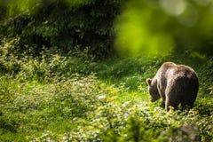 Brown-Bär (Ursus arctos) Lizenzfreies Stockfoto