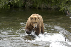 Brown-Bärenüberfahrt Bach-Fluss Lizenzfreie Stockfotografie