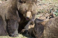 Brown-Bären Lizenzfreie Stockbilder
