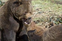 Brown-Bären Stockbild