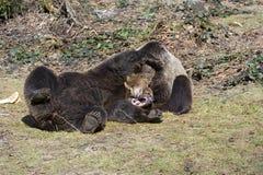 Brown-Bären Stockfotos
