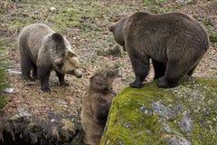 Brown-Bären Stockfotografie